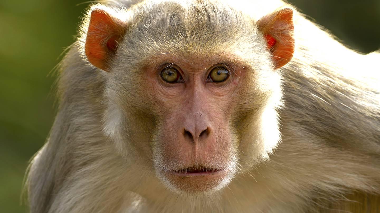 कोर्ट ने कहा- नगर निगम की जिम्मेदारी है बंदर पकड़ना